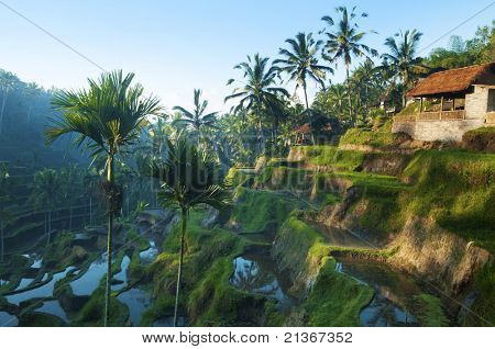 Terrace rice fields in morning sunrise, Bali, Indonesia.