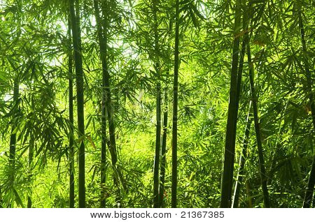 Asian Bamboo forest with morning sunlight.