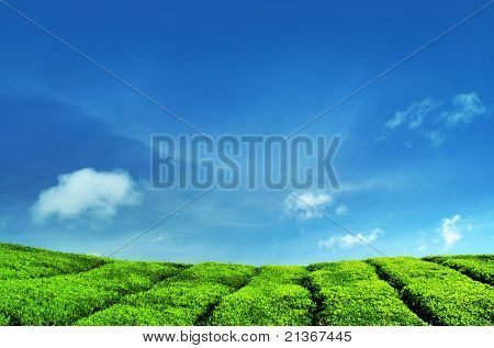 Tea Plantations at Cameron Highlands Malaysia.