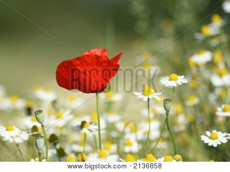 Lonesome Poppy