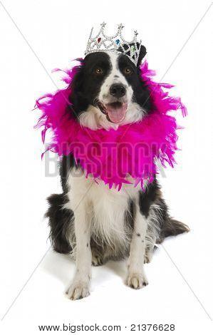 Border-Collie Hund Prinzessin in Rosa mit Krone