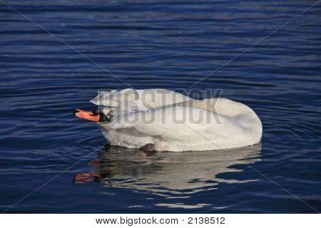 Swan Preening