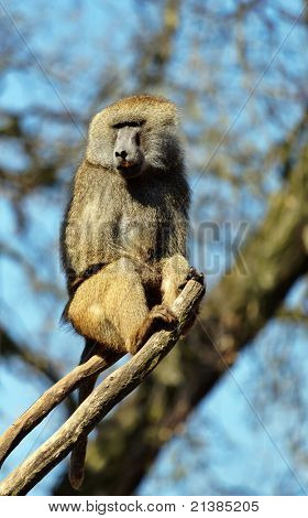 Baboon up the tree
