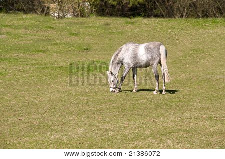 Gray Dapple Horse .