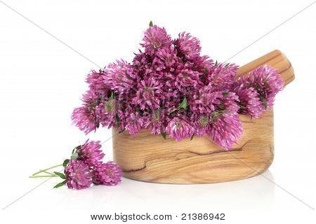 Clover Flower Blossom