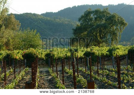 Vinyard.  Sonoma County, California
