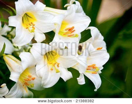 White Easter Lily flowers in a garden, shallow DOF