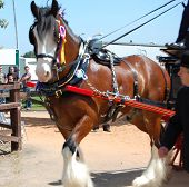 picture of shire horse  - shire horse at the 3 counties show - JPG