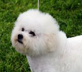 foto of bichon frise dog  - Portrait shot of a Bichon Frise Dog - JPG