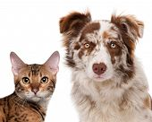 stock photo of bengal cat  - Red Merle Border Collie - JPG