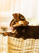 Little Dog Sitting On Couch poster