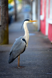foto of claddagh  - grey heron on the footpath in front of houses in Claddagh Galway - JPG