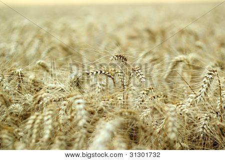 Ripe Barley Ears