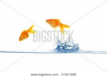 goldfish jumping