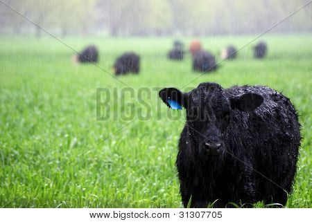 Angus cow in a field