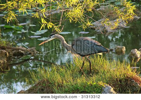 Great Blue Heron - Parque Nacional Everglades, Florida