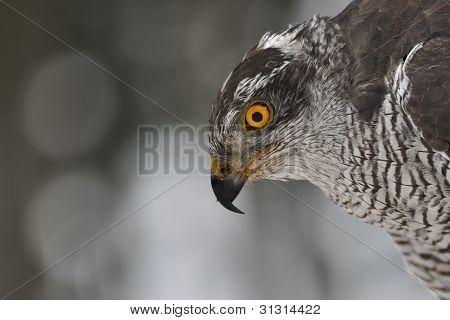 Northern Goshawk closeup portrait