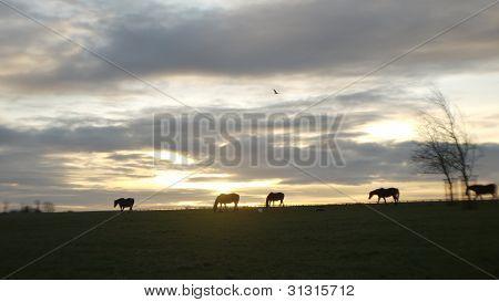 pregnant mares