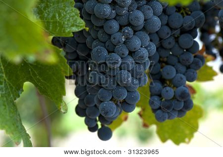 Red Wine Grapes - Fresh, Ripe, Crisp and Juicy - Closeup