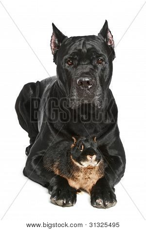 Cane Corso Dog With Small Rabbit On A White Background