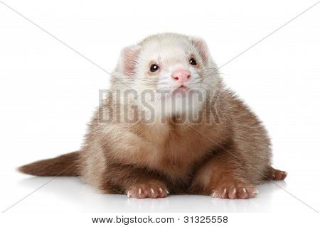 Polecat Lying On A White Background