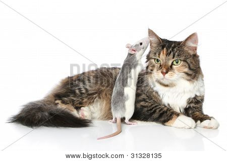 Rat Whispered To The Cat In Ear, Which Rests