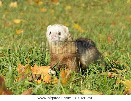 Ferret Play Autumn Meadow