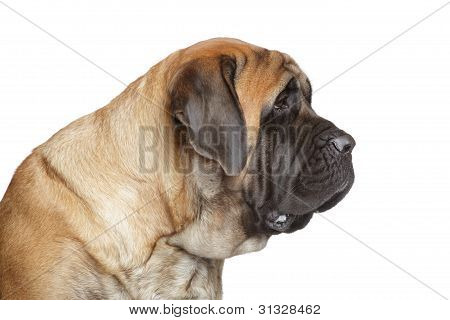 English Mastiff Dog. Side View