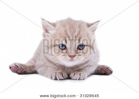 Blue-eyed British Kitten Of Gray Color