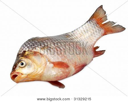 Live Carp Close Up Isolated