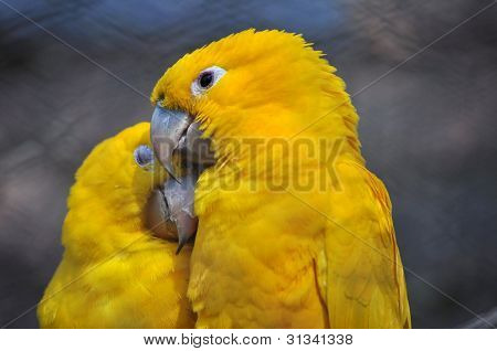 Golden Conure - Couple