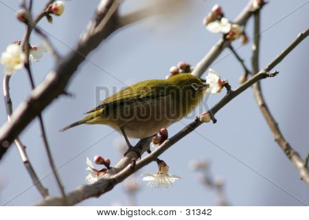 Green Warbler On Flower