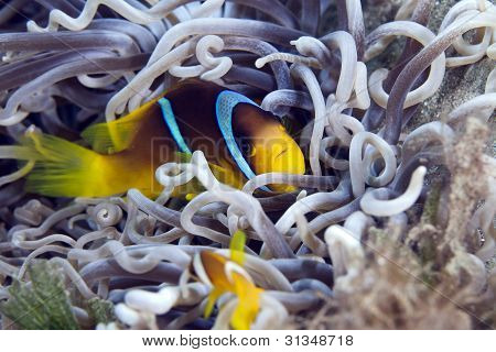 Anemonefish in a leathery anemone.