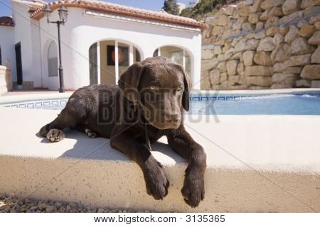 Puppy By The Pool