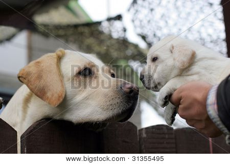 Yellow Labrador Mother And Her Puppy