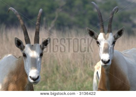 Scimitar Oryx Pair
