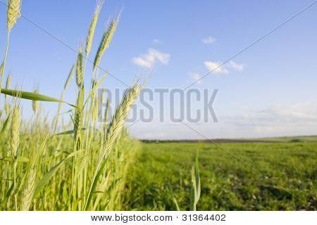 Young Wheat Background
