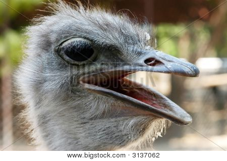 Close-Up Image Of Ostrich