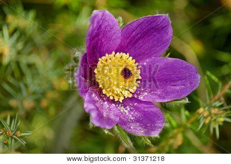 Easter Flower, Pulsatilla vulgaris