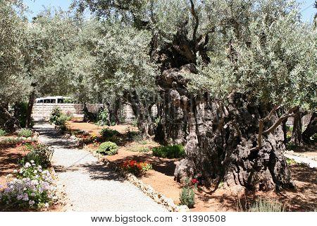 Garden Of Gethsemane Jerusalem Israel