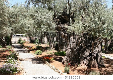 Garten Getsemani Jerusalem Israel