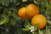 Orange Citrus Fruit Plantations On Peloponnese, Greece, New Harvest Of Sweet Juicy Oranges poster
