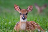 White-tailed Deer Fawn Bedded Down In An Open Meadow poster