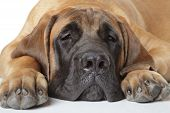 foto of english-mastiff  - English mastiff - JPG
