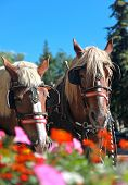 stock photo of blinders  - Show horses over summer flowers in Breckenridge - JPG
