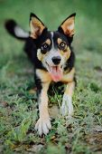 Shorthair Three-color Border Collie Jumps Into The Lake At Sunset poster