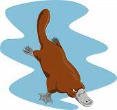 foto of platypus  - Vector art on animals and wildlife creatures - JPG