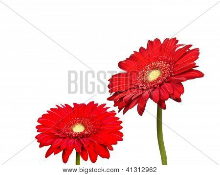 Two Flowers Of Red Gerbera
