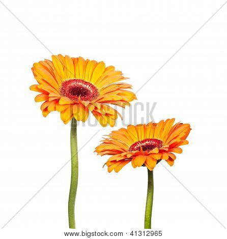 Two Flowers Of Orange Gerbera