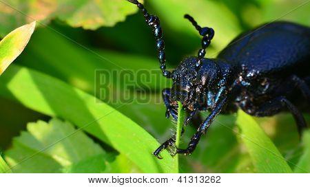 Macro Beetle Meloe